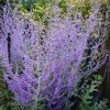 Perovskia Blue Spire - Russian Sage Little Spire - Pack of THREE
