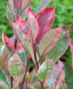 Photinia fraseri Louise - Variegated Red Robin Plants