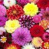 Premium varieties Dahlia Collection - Breeders Special Mix - Pack of TEN