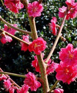 Prunus persica Melred - Peach Tree