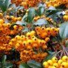 Pyracantha Teton - Firethorn