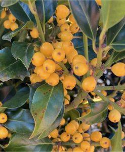 Rare Yellow Berry Holly Trees - Ilex aquifolium Bacciflava - Covered in Berries - LARGE SPECIMEN