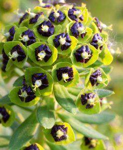 SPECIAL DEAL - Euphorbia characias 'Black Pearl' - Spurge