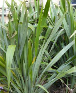 SPECIAL DEAL - Phormium tenax - New Zealand Flax
