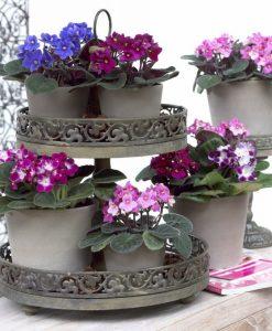 Saintpaulia - African Violet Plants in assorted Colours