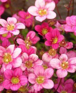 Saxifraga Mossy PINK - Cushion Saxifrage Plants