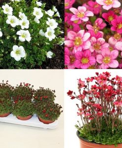 Saxifraga Mossy - Pack of SIX cushion Saxifrage Plants in Bud & Bloom