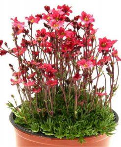 Saxifraga Mossy RED - Cushion Saxifrage Plants