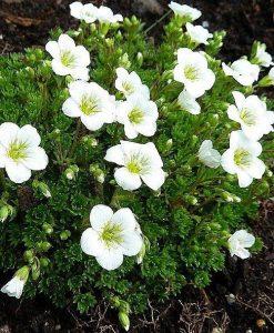 Saxifraga Mossy WHITE - Cushion Saxifrage Plants