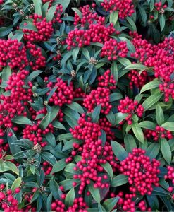 Skimmia japonica Godries Little Ruby