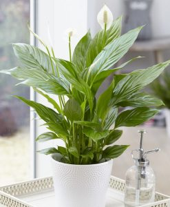 Spathiphyllum 'Alana' - Peace Lily in White Display Pot