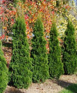 Super Bushy Thuja occidentalis 'Smaragd' - 80-100cm Specimen or Hedging Conifers
