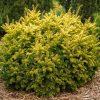 Taxus baccata 'Semperaurea' - Gold Irish Yew