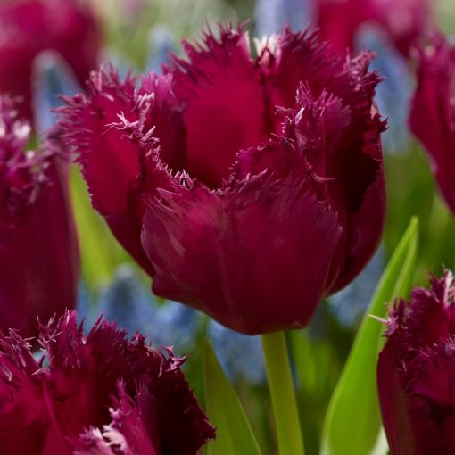 Tulip Fringed Gorilla