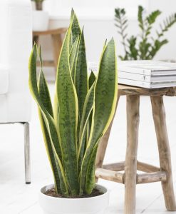 Variegated Snake Plants - Sansevieria - in Classic White Display Pot