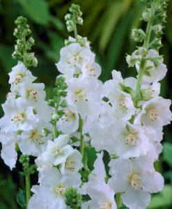 Verbascum Flush of White - 1 Bare root plant