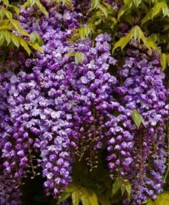 Wisteria floribunda Black Dragon - Violacea Plena Double Flowering Wisteria Vine