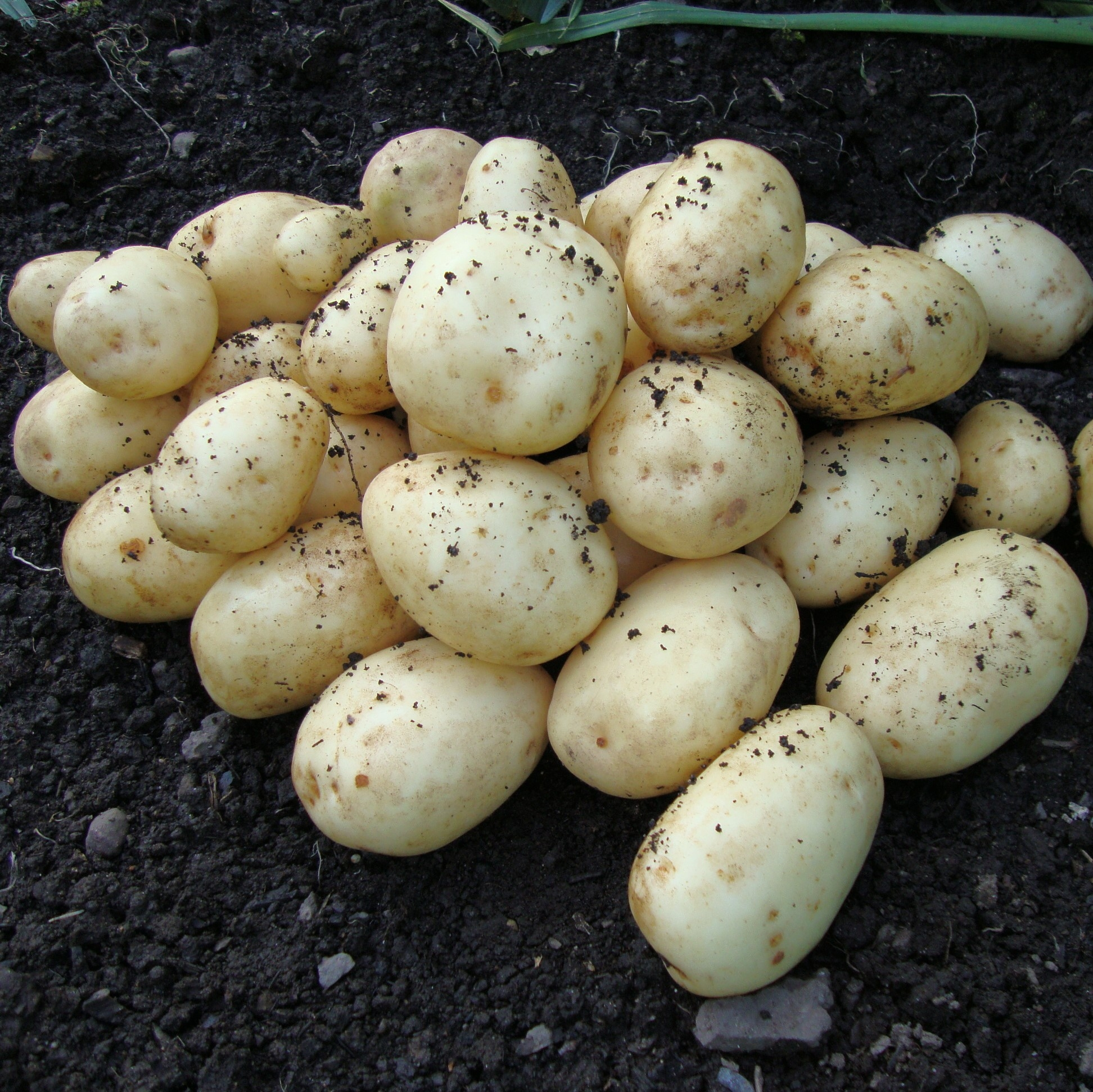 Accord - 1st Early Seed Potatoes - Pack of 10 Gardening Express