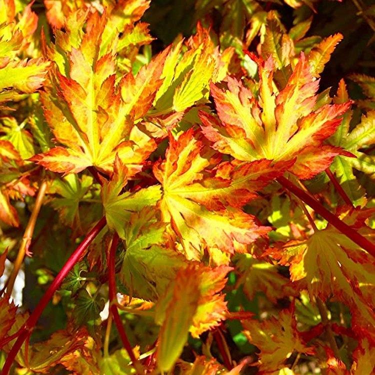 Acer palmatum Annie Irene - Japanese Maple Gardening Express