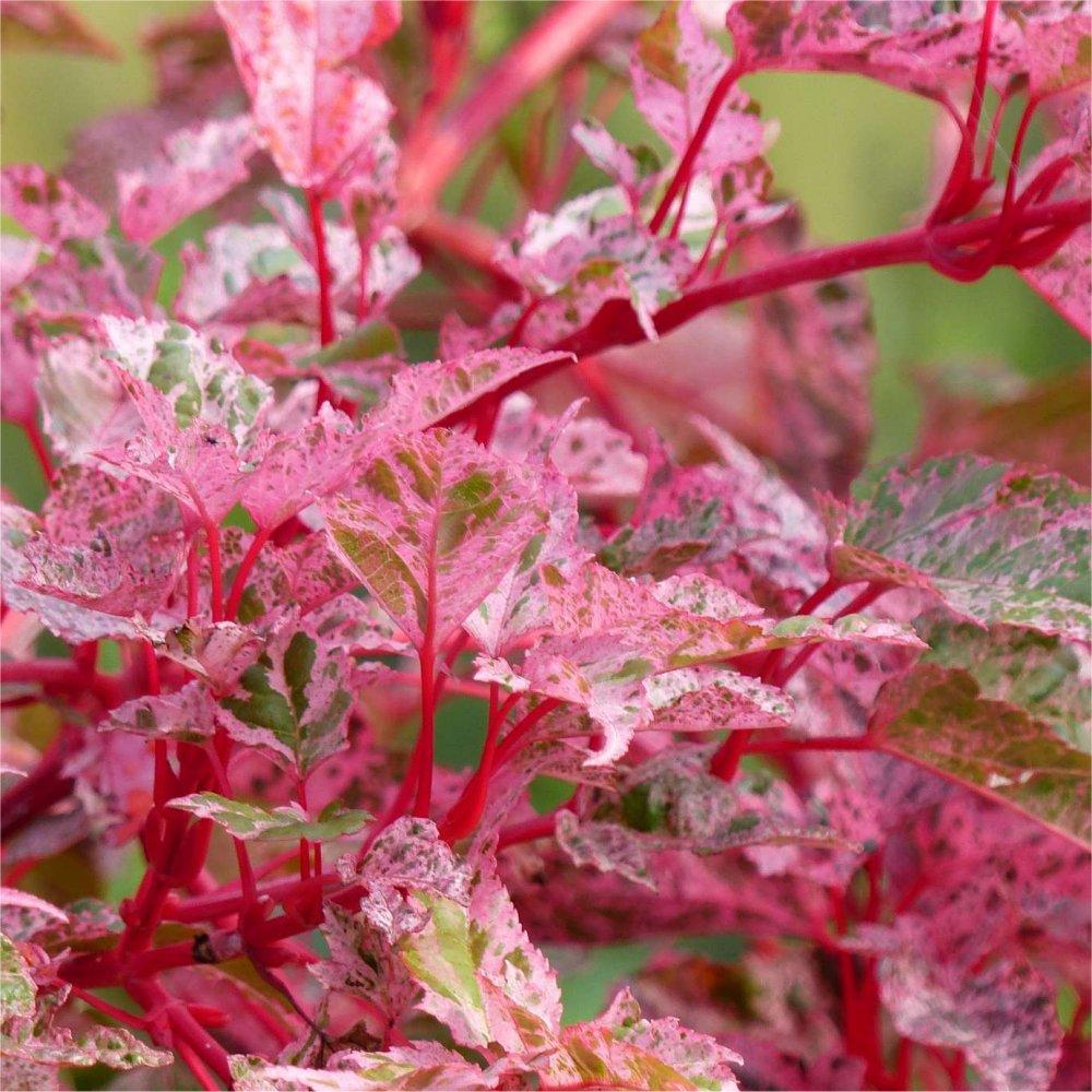 Acer × conspicuum 'Red Flamingo' - Snake bark Maple Gardening Express
