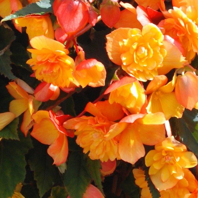 Begonia Illuminating Apricot Shades  - Pack of THREE Gardening Express