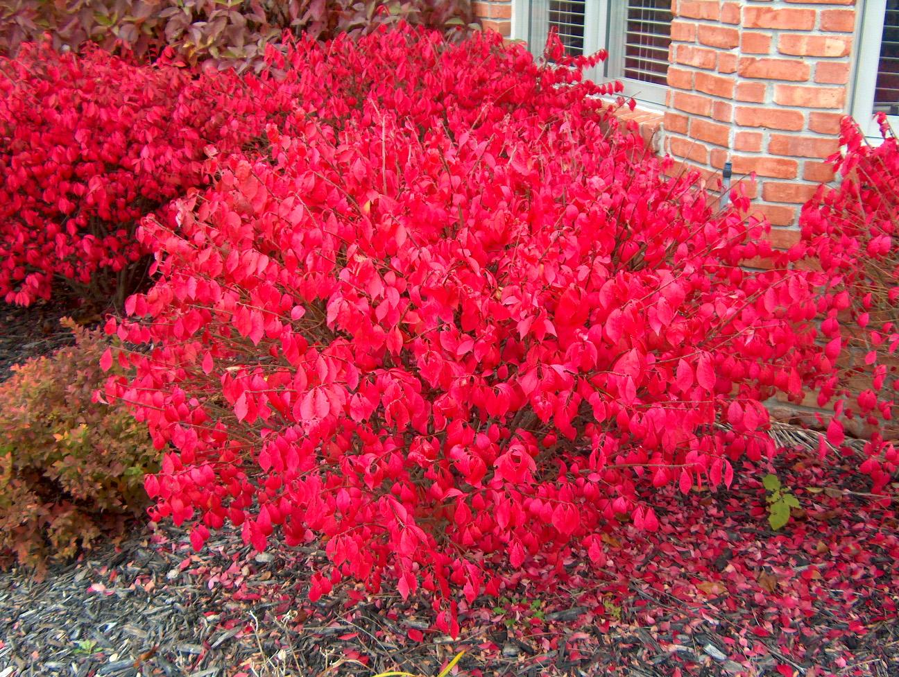 Euonymous Alatus - Burning Spindle Bush Euonymus - XXXL 150cm Heavy Specimen Gardening Express