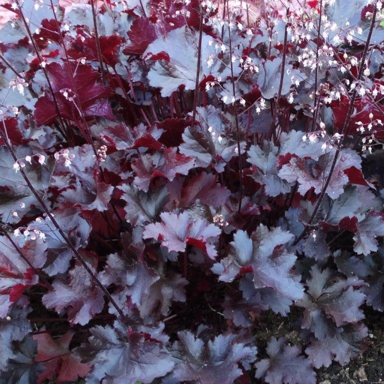 Heuchera Black Beauty Gardening Express