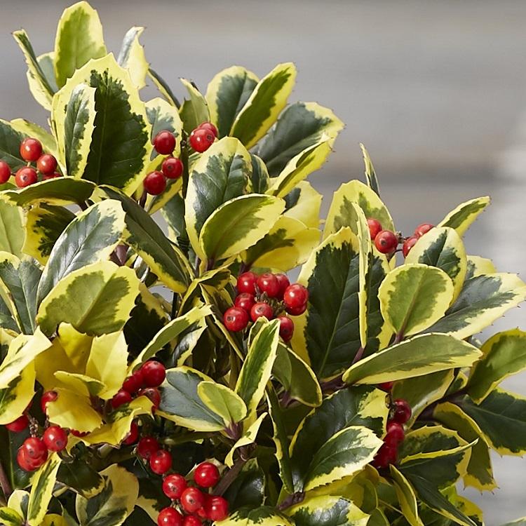 Ilex Golden King - Female Golden Variegated Holly Gardening Express