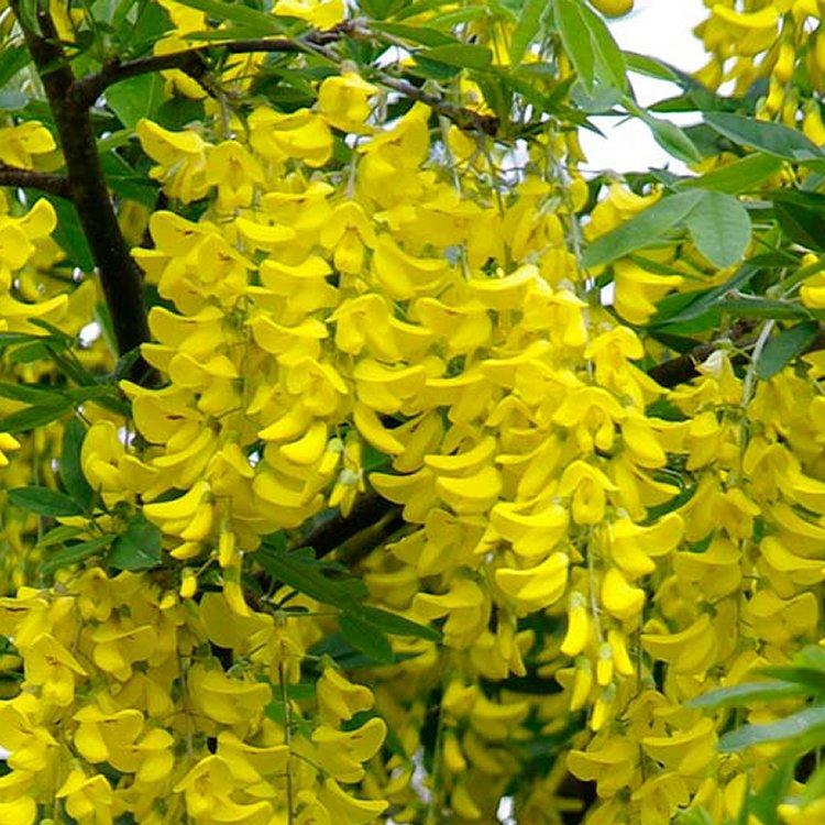 Laburnum x watereri 'Vossii' - Voss' laburnum - Golden Rain Tree Gardening Express