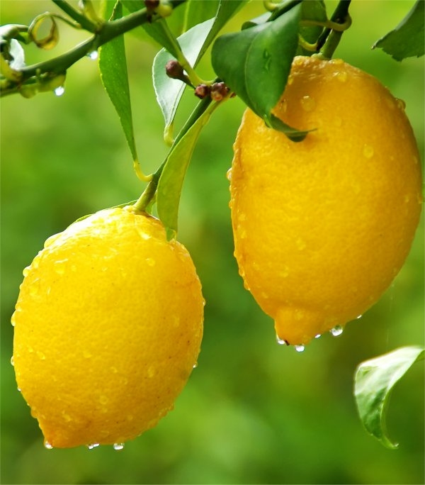 Large Citrus Tree - Fruiting & Flowering Lemon Tree - 120-140cms - Perfect for a G&T! Gardening Express