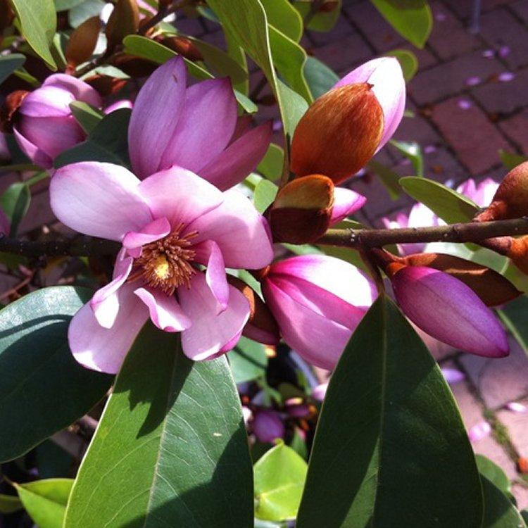 Magnolia Fairy Blush - Evergreen Soft Pink Flowering Magnolia Gardening Express