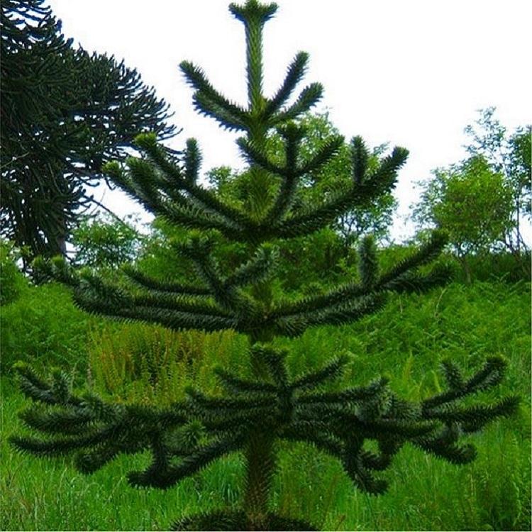 Monkey Puzzle Tree - Araucaria Araucana - Monkey Puzzle Tree - Large Gardening Express