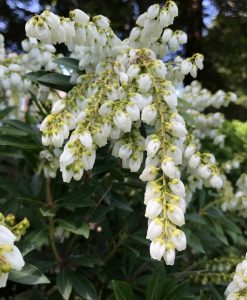 Pieris japonica Prelude