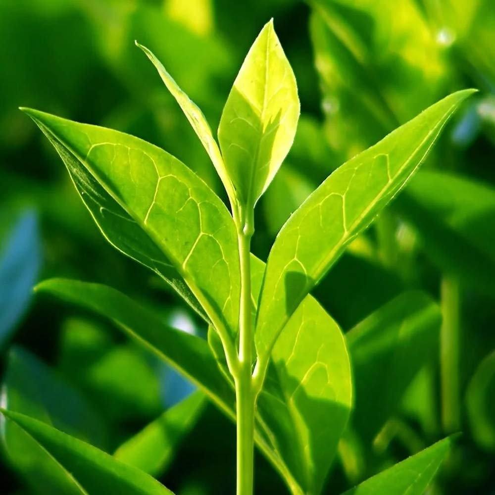 Camellia sinensis - Tea Bush - Grow your Own Cuppa! Gardening Express