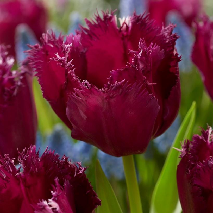 Tulip Fringed Gorilla Gardening Express