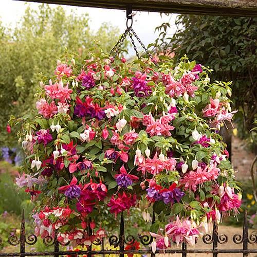 American Giant Double Flowered Fuchsias YouGarden