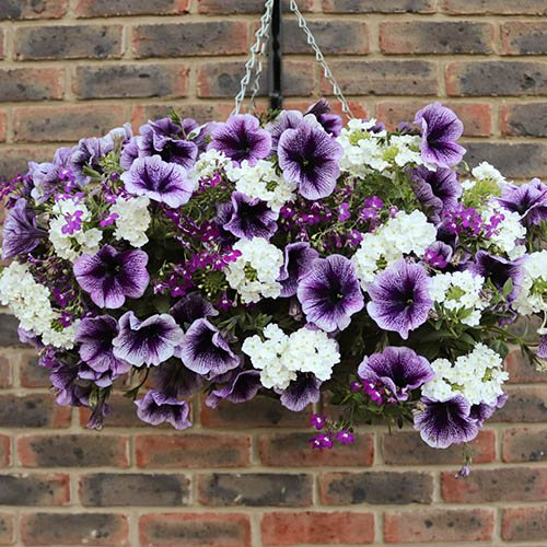 'Parma Violet' Pre-Planted Basket YouGarden