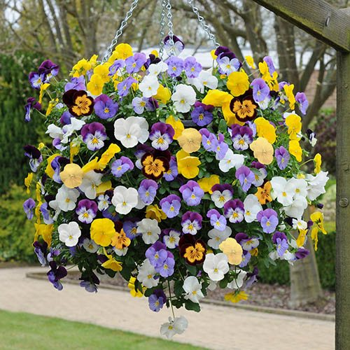 Pansy Cool Wave 11in Yellow Hanging Basket YouGarden