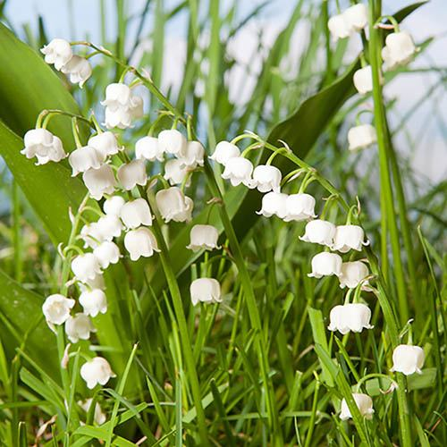 Lily of the Valley, Convallaria majalis YouGarden