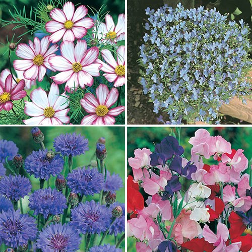 Shades of Pink and Purple Seed Collection YouGarden