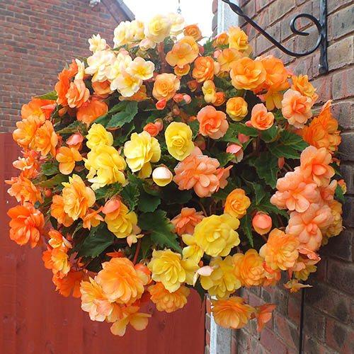 Apricot Shades Preplanted Basket