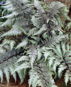 Athyrium niponicum Pewter Lace