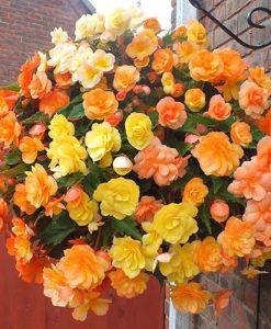 Begonia Apricot Fiery Shades Mix