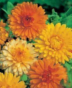 Calendula Art Shades Seeds