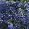 Californian Lilac Ceanothus thyrsiflorus var. repens
