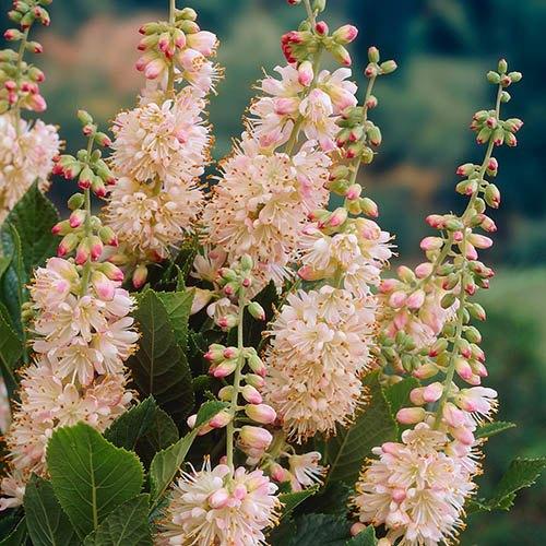 Clethra Pink Spire (Summersweet)
