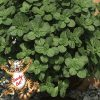 Coleus canina Scardy Cat Plant
