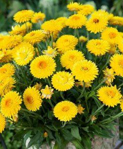 Everlasting Flower Xerochrysum granvia Gold - Crispy Touch