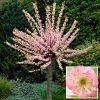 Flowering Cherry Almond Prunus triloba Standard