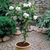 Gardenia jasminoides Cape Jasmine